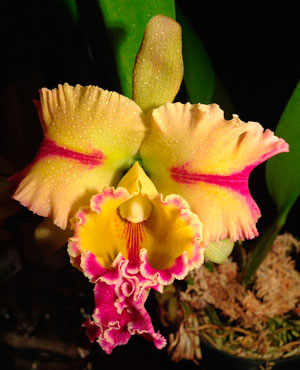 Paradise Jewel 'Flame' (Photo: By Dougie WII via Wikimedia Commons)
