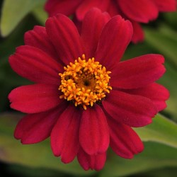 Zinnia-Zahara-Cherry-sep-13