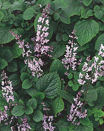plant focus plectranthus michigan gardener. Black Bedroom Furniture Sets. Home Design Ideas