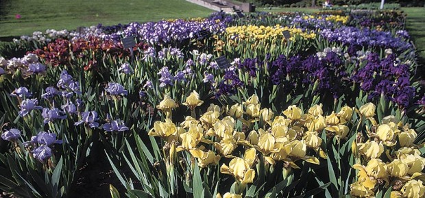 Bearded irises (once known as Iris germanica) are particularly susceptible to iris soft rot. Siberian irises (I. sibirica) and zebra iris (I. pallida 'Variegata') are usually resistant to the rot, even when riddled with borers.