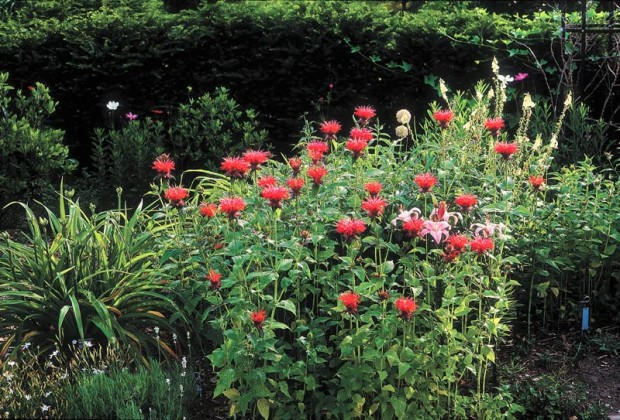 Bee balm (Monarda didyma) likes a constantly moist soil. If grown on the dry side or where it is very wet and very dry, its chances of developing powdery mildew are greater.