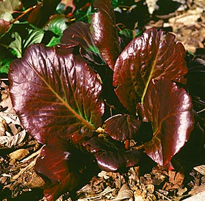 Bergenia (Bergenia cordifolia), begins with big, rich maroon leaves in spring.