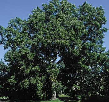 Perhaps that mountain ash, burning bush, lilac or rhododendron died as a result of black walnut blight, poisoned by accumulation of chemicals produced by walnut roots. Or maybe the victim would have survived with more moisture. The more water that goes into the soil under a black walnut, the more the toxins are diluted, so that even sensitive plants may survive.
