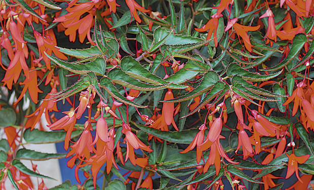 Bonfire begonia (photo: Tesselaar Plants)