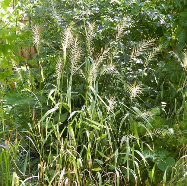 The striking plumes of bottlebrush grass (Elymus hystrix) in late summer are beautiful in any garden setting.