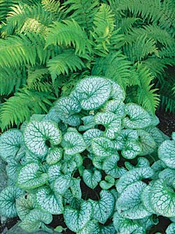 brunnera-ferns