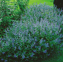 caryopteris-longwood-blue