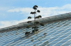 When the agave stalk reached the conservatory ceiling, workers removed a pane of roof glass to allow the flower stalk to continue growing.