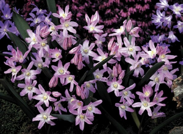 Chionodoxa 'Pink Giant' (Photo: Wayside Gardens)