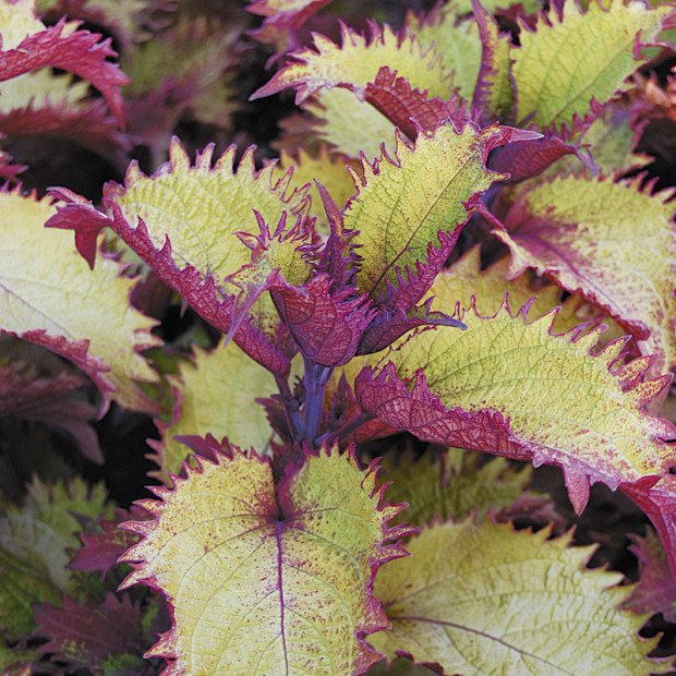 Coleus 'Henna' (photo: Eric Hofley / Michigan Gardener)