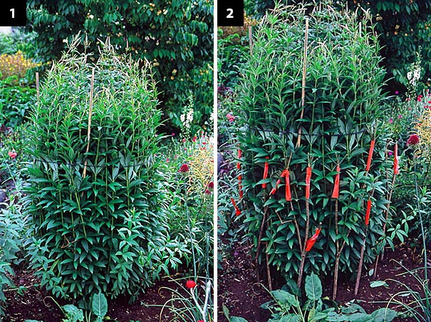 "Left: This culver's root (Veronicastrum virginicum) was beginning to topple. Although it looks ridiculous in its string girdle, it's only a temporary measure – a way to make the plant ""suck it in"" while crutches are placed. Right: While it's tied up I can set crutches around the base of the plant. They're sleeved with orange so you can see them better."