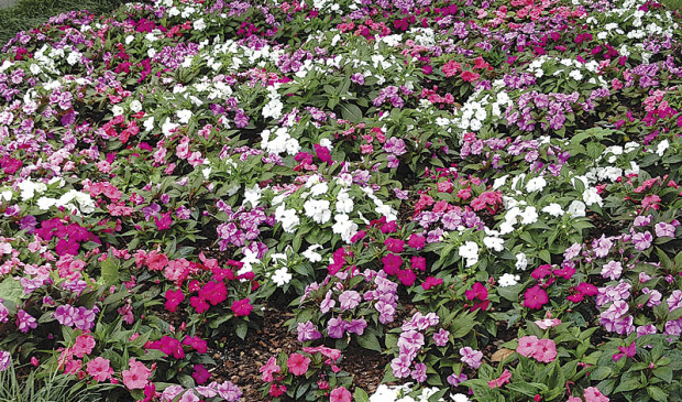 These Divine New Guinea impatiens are seed-grown, which makes them one of the more cost-effective replacements for regular impatiens. (photo: Ball Horticultural Company )