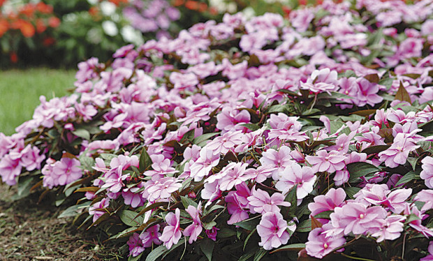 Divine series New Guinea impatiens (photo: Ball Horticultural Company)