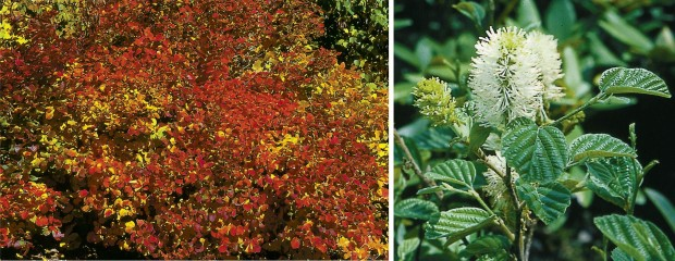 Dwarf fothergilla in fall and in bloom.