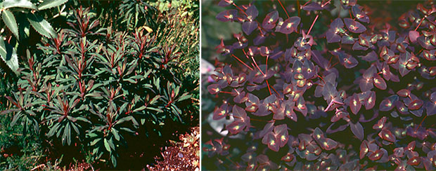 Left: Cushion Spurge (Euphorbia polychroma),Right: Purple wood spurge (Euphorbia amygdaloides 'Purpurea')