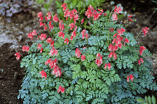Plant Focus Fernleaf Bleeding Heart Michigan Gardener