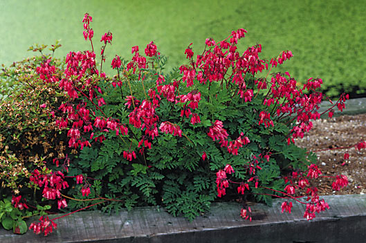 Fern-leaf-Bleeding-Heart-Dicentra-Luxuriant