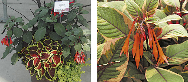 Left: The smoky leaves of the fuchsia 'Gartenmeister' take center stage in this container planting that also contains phormium 'Black Adder,' coleus 'Fireball,' and golden creeping Jenny. (photo: George Papadelis) Right: 'Firecracker' (photo: Skagit Gardens)
