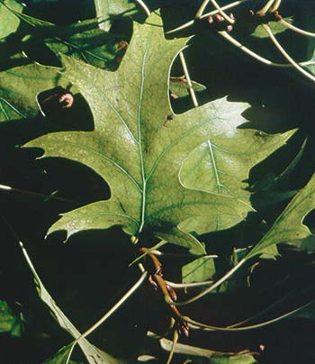 Another way to gauge stress and recovery is leaf size and color. If leaves are smaller than normal or discolored, the plant is stressed.This oak leaf is chlorotic—the plant equivalent of anemia. Chlorosis is as often an indication of root damage as it is mineral deficiency. So pamper this oak with aeration, steady watering and special fertilizer until the leaves tell you it is recovered.