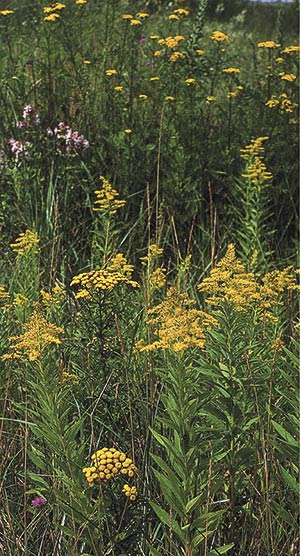 The new gardening ethic can help insure that future generations will still know the unique look of dunes along Lake Superior, covered in native goldenrod and tansy.