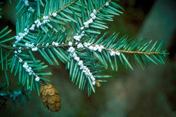 The small cottony masses characteristic of adult hemlock woolly adelgid. (Credit: Connecticut Agricultural Experiment Station Archive)