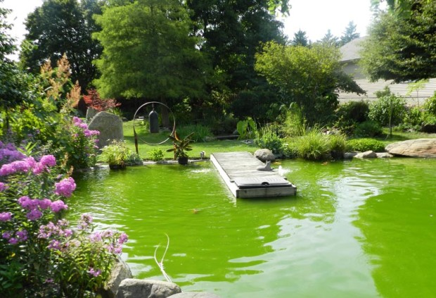 In 1985, the Hodgsons contracted with an individual who wanted experience in building a koi pond, so they exchanged the experience for the construction. The soil removed from the pond hole was used to build the cactus berm. The pond water is green because of an algae bloom caused by warm, sunny weather and organic material in the water. If controlled properly it is not harmful to the fish.