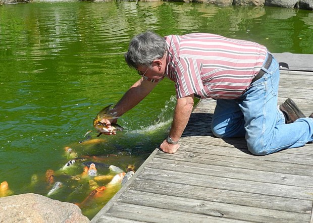Mick picking up fish is a demonstration activity. This koi is an early version of the butterfly koi, known for its long fins and tail. The Hodgsons hand feed the koi from the same location multiple times a day, so the fish anticipate the feeding and come to beg when Mick and Cathy are in the backyard. The older fish in the pond teach the young fish about this group activity.