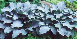Holes in hostas are history. Do nothing now. Next spring is when you can act to head off the damage next year.