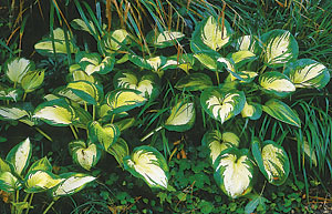 Few plants perform so well and add so much color to the shade as hosta. The key is to focus on foliage color and contrast.