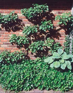 Climbing hydrangea (H. anomala petiolaris) is a very large vine but can be kept pruned to forms that range from shrubby to tree-form espalier.