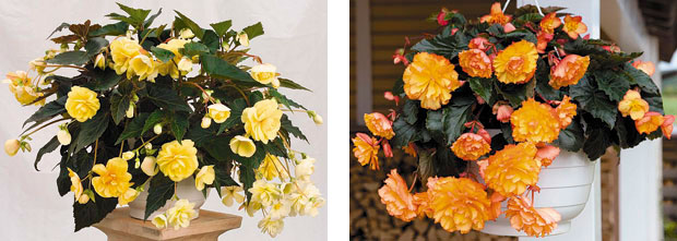 Left: Illumination 'Peaches & Cream' begonia. Right: Illumination 'Golden Picotee' begonia (photos: Benary)