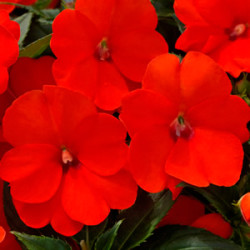impatiens-sunpatiens-electric-orange-sep-13