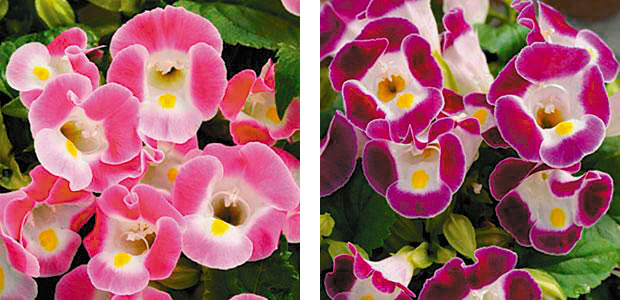 Left: 'Kauai Rose' torenia Right: 'Kauai Burgundy' torenia (photos: Ball Horticultural Co.)