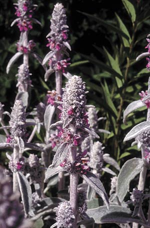A gray leaf plant such as lamb's ear (Stachys lanata) does well where it's hotter and drier. It has a layer of hair on each leaf where water vapor coming out through the pores is trapped and protected.