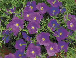 'Lara Blue' cup flower - Nierembergia (photo: Ball Horticultural Company )