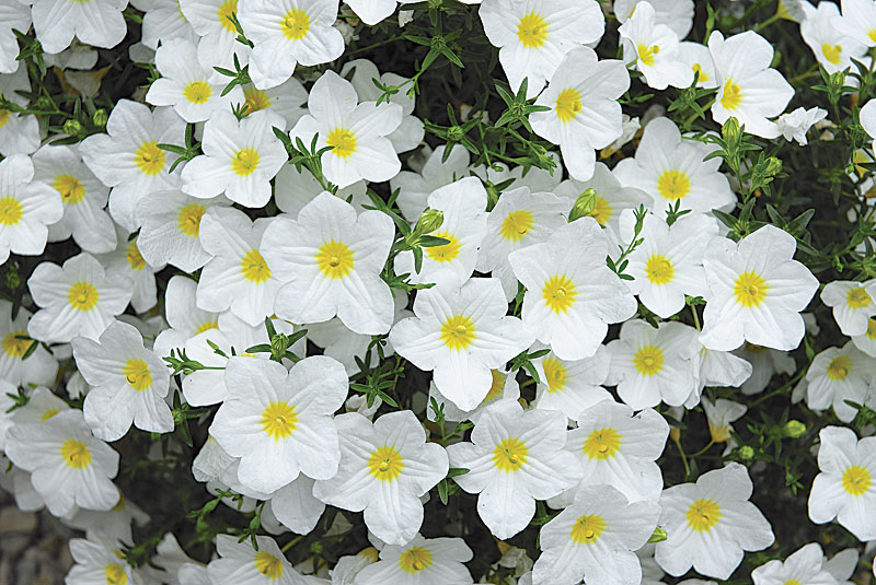 Alternatives to impatiens impatiens walleriana lara white cup flower nierembergia photo ball horticultural company mightylinksfo