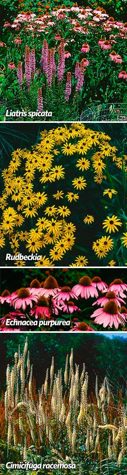 As pretty as purple coneflower (Echinacea purpurea) is, black-eyed Susan (Rudbeckia) is not it's best companion, for the flower form is too similar. Spike-form blazing star (Liatris Spicata) are better matches for coneflowers, or tall wands of snakeroot (Cimicifuga racemosa).