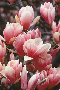 It's hard to believe that something so universally loved as a magnolia can also be a dangerous plant. Yet some people are allergic to it, and develop a rash on contact with it.