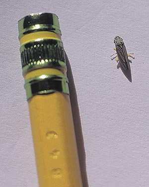 A mature leafhopper...plenty of trouble in a small package. Most plant damage is done by the nymphs—immature leafhoppers far smaller than this.