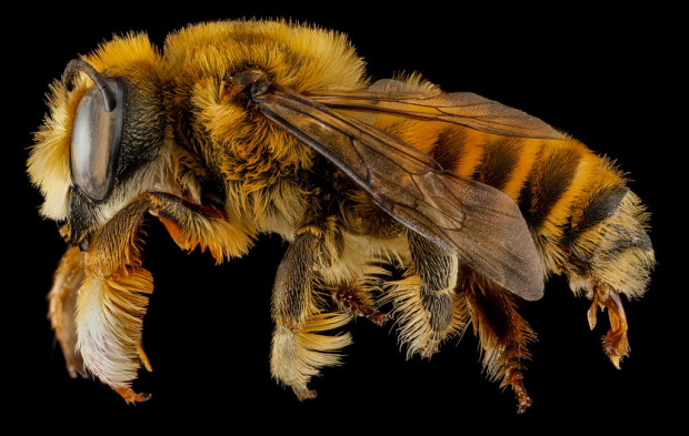 Megachile fortis (Photo: Sam Droege via Flickr)