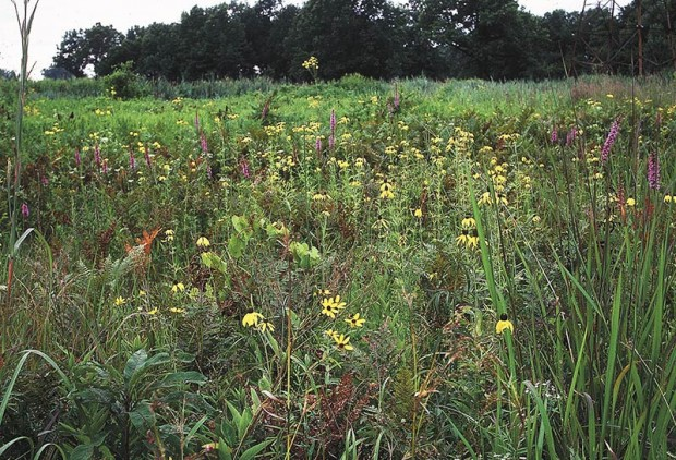 A native wet prairie like this one on Walpole Island consists of dozens of species growing in harmony, each blooming in its season. Some people like the massed bloom of loosestrife better than this natural show, but the butterflies, hummingbirds and songbirds that reap crop after crop of nectar and seeds from this stand would disagree.