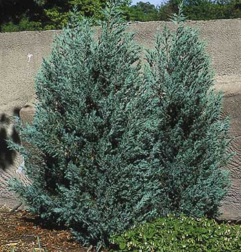 Needled, waxy species such as junipers usually have an advantage over broadleaf evergreens like boxwood and rhododendron in an exposed and windy winter. Yet if this big plant was newly planted last fall, still possessing only the unnaturally small rootball of the nursery field, wind may have rocked the plant and broken many roots.