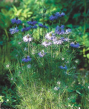 Nigella (Nigella damescena) is one of the plants that Virginia Smith and Wil Strickland call an acceptable weed. It has redeeming physical features and will seed itself into bare spaces before weedier species can do that.