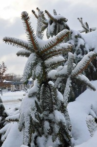 norway-spruce-loaded-with-snow