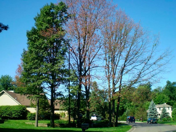 Oak Wilt is lethal to many oak species, including red oaks, pin oaks and black oaks. (Photo courtesy: michiganoakwilt.org)