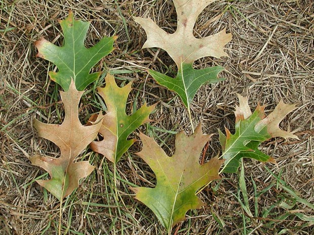 Oak wilt spreads from tree to tree through connected root systems. Untreated, the fungus spreads to adjacent red oak trees, often killing large groups of trees within a few years, eventually killing all nearby root-grafted oaks. These leaves are from an infected oak.