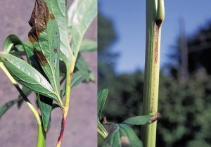 Purple-brown splotches on peony foliage and streaks of the same color on stems are signs of peony botrytis.