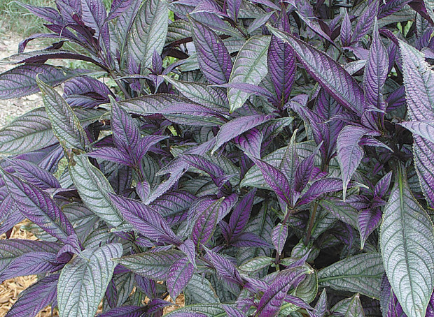 Strobilanthes Persian shield (photo: Eric Hofley / Michigan Gardener)