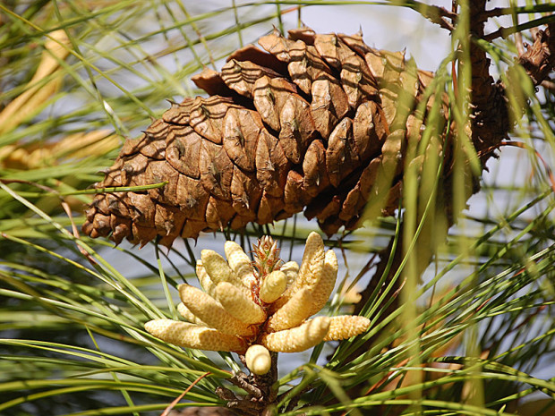 pollen-and-seed-cones