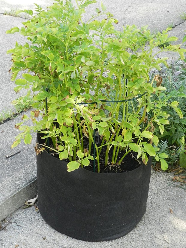 Grese grew Yukon Gold potatoes in what is typically called a grow bag. They are great reusable containers for vegetables and now come in many colors and sizes.